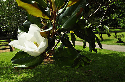Magnolia 7 by Terry Sita