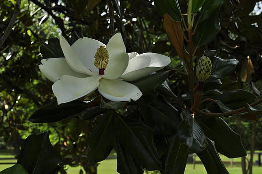 Magnolia B by Terry Sita