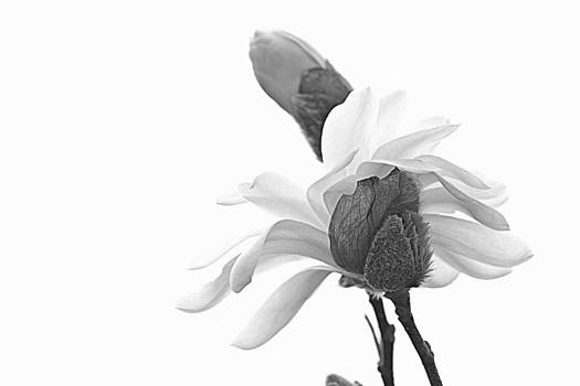 Magnolia Bloom 1 by Tammy Schneider