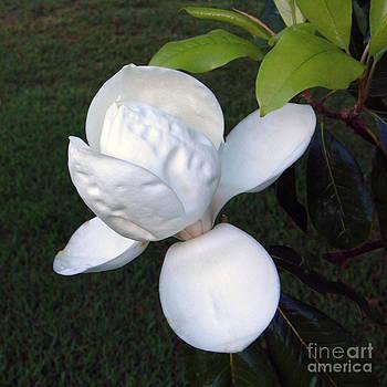 Magnolia Bloom by Bob McGill