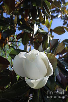 Magnolia Bloom by Jeanne Forsythe