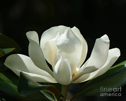 Magnolia Blooming by Sherry Vance
