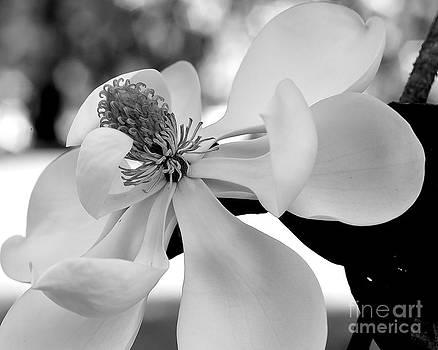 Wayne Nielsen - Magnolia Blooms in Glory