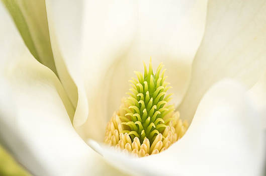 Magnolia Blossom by Kim Aston