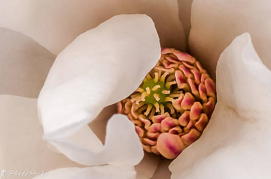Magnolia Blossom by Tom Pickering of Photopicks Photography and Art