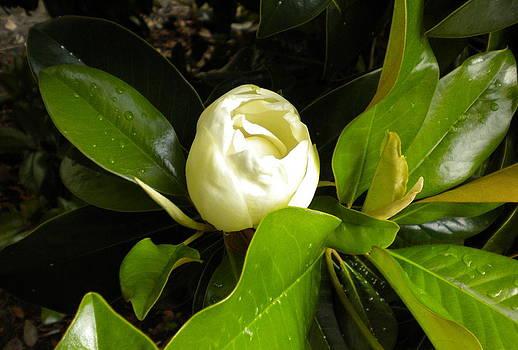 Magnolia Bud by Bernadette Amedee