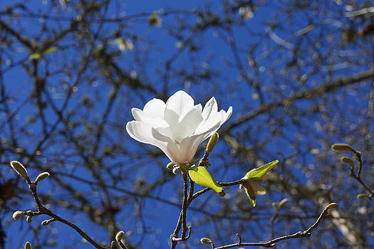 Baslee Troutman - Magnolia Flower White Spring Blue Sky