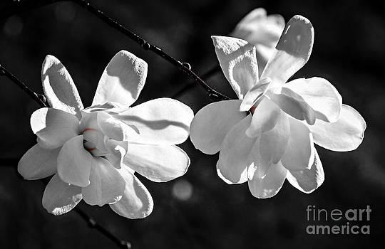 Elena Elisseeva - Magnolia flowers