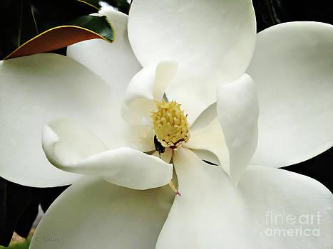 Nancy Stein - Magnolia In Color