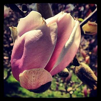 #magnolia In #montclair #newjersey by Teresa Delcorso