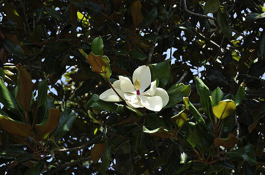 Magnolia in sunlight by Terry Sita