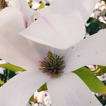 Magnolia in the pink by Andrea Osborn