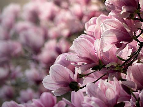 Magnolia Layers 2 by Rob Amend