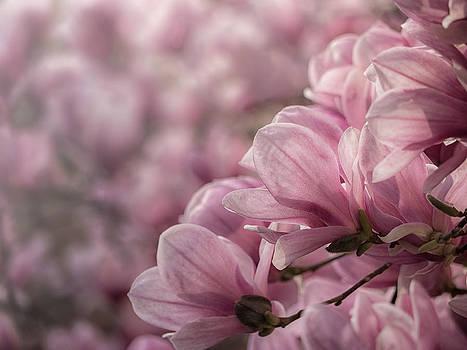 Magnolia Layers by Rob Amend