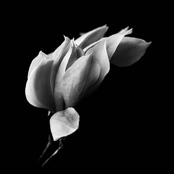 Magnolia by Mayumi Yoshimaru