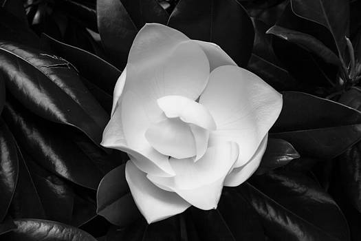 Magnolia by Michael Ray