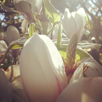 Magnolia Morning by Andrea Osborn