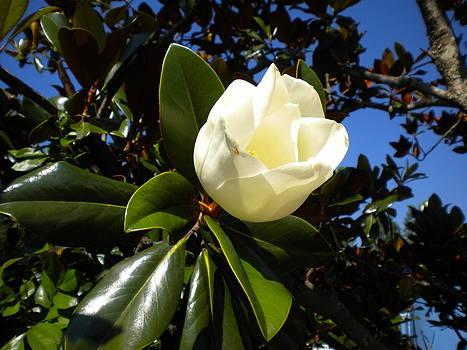 Magnolia Opening by Bernadette Amedee
