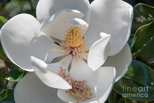 Dale Powell - Magnolia Petals