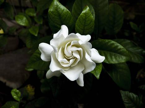 Gardenia by Susan Hamilton