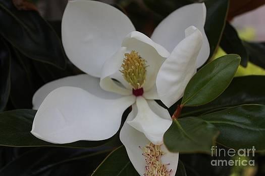 Magnolia Tears by Lee Ann Newsom