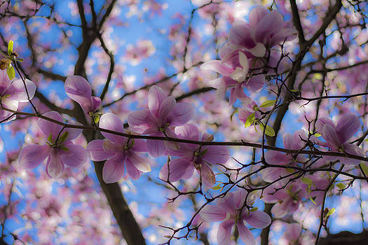 Newnow Photography By Vera Cepic - Magnolia tree from fairytale