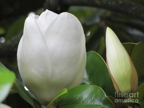Magnolia's - Bud and Bloom by Debbie Nester