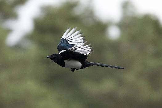 Magpie in Flight by Simon West
