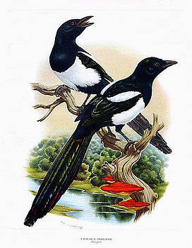 Magpies by Axel Amuchastegui