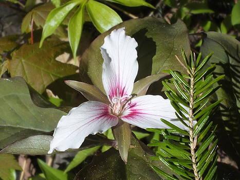 Gene Cyr - Maine Trillium