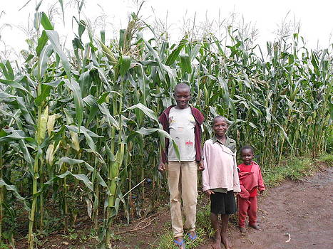 Maize Plant In Kenya by Samuel Ondora