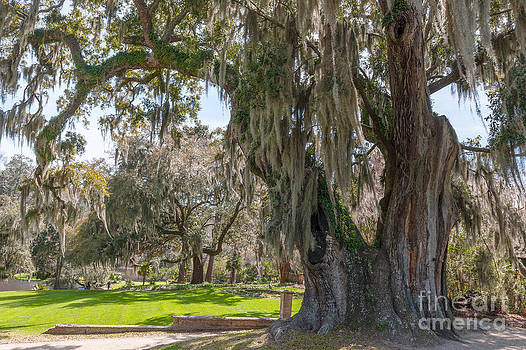 Dale Powell - Majestic Live Oak Tree