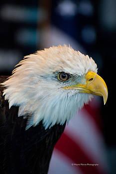 Wayne Moran - Majestic Bald Eagle