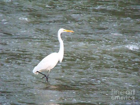 Majestic Egret 5 by Leslie Jennings