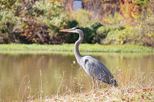 Simply  Photos - Majestic Great Blue Heron in Autumn