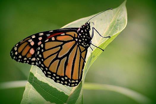 Rosanne Jordan - Majestic Monarch Butterfly