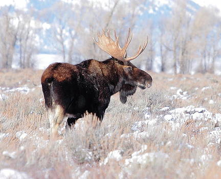Majestic Moose by Floyd Tillery