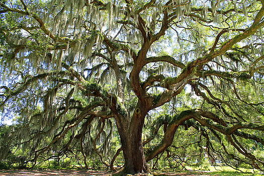 Majestic Oak 3 by Kay Mathews