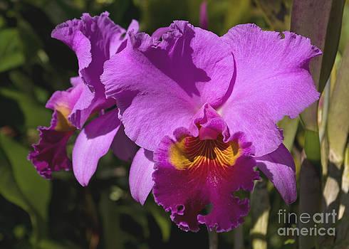 Majestic Pink Cattleya Orchid Bloom by Kerryn Madsen-Pietsch