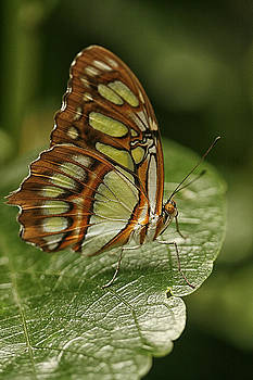 Malachite Butterfly by Cindi Ressler