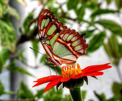 Malachite Butterfly on a Mexican Coneflower by Larry Trupp
