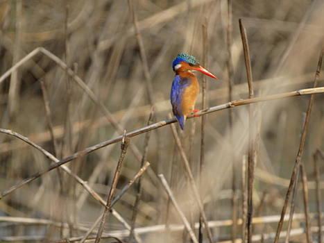 Malachite Kingfisher on His Twig by Yelnats TM