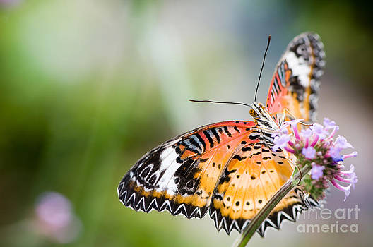 Oscar Gutierrez - Malay lacewing butterfly
