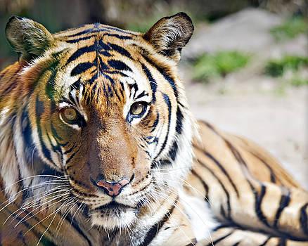 Malayan Tiger_B1 by Walter Herrit