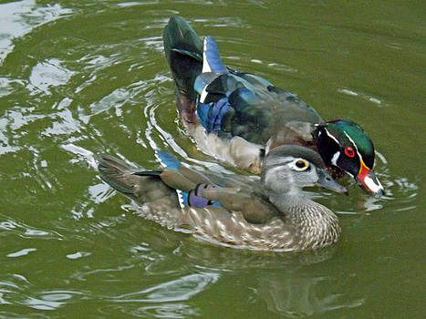 Male and female Wood Ducks by Brenda Brown