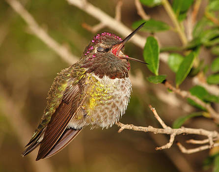 Male Anna's Hummingbird Yawning by Old Pueblo Photography