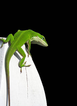 Male Anole LIzard by Dawn  Gagnon
