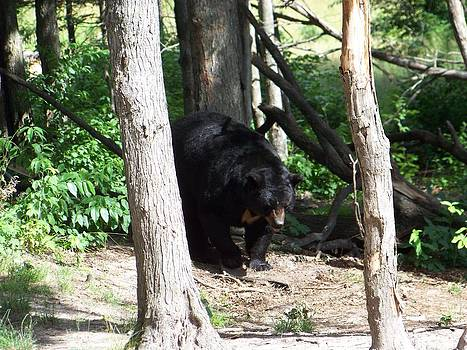Male Black Bear 2 by Jennifer  King