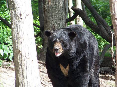 Male Black Bear 3 by Jennifer  King
