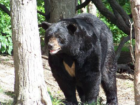Male Black Bear 4 by Jennifer  King